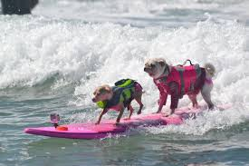 Dog <b>Surfing Competition</b> San Diego | Helen Woodward Animal Center
