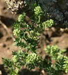 Flora of Zimbabwe: Genus page: Coronopus