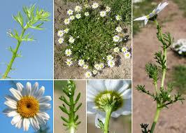 Anthemis arvensis L. subsp. arvensis - Sistema informativo sulla ...