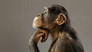 chimpanzee க்கான பட முடிவு