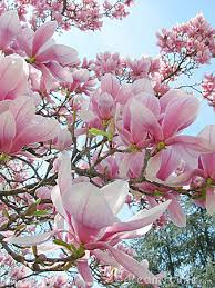 Image result for magnolia
