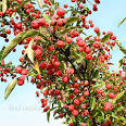 cultivated crab apple