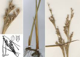 Juncus subulatus Forssk. - Guida alla flora degli stagni temporanei ...