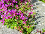Images & Illustrations of creeping thyme