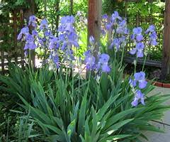 Image result for bearded iris