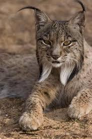 Lince Ibérico by <b>Euro</b> Press how <b>beautiful</b>! i love lynx and bobcats. i ...