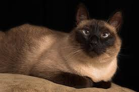 Crossed <b>Eyes</b> in <b>Cats</b> - Symptoms, Causes, Diagnosis, Treatment ...