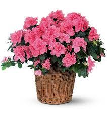 Resultado de imagem para flores azaléias