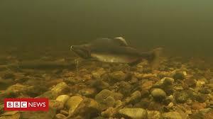 Invasive <b>Pacific pink salmon</b> found in Scottish rivers - BBC News