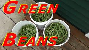 Harvesting Blue Lake Bush Bean (<b>Green Bean</b>) #<b>120</b> Heirloom ...