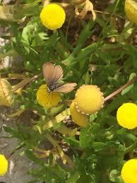Cotula coronopifolia Calflora