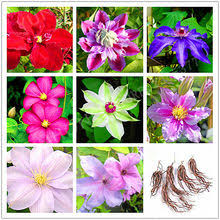 <b>Clematis Plant</b> reviews – Online shopping <b>and</b> reviews for <b>Clematis</b> ...