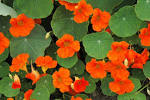 Fleur capucine