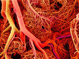 Image result for blood vessels of the body