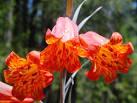 scarlet fritillary