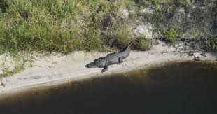 alligators along the kissimmee river