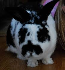 rabbits are good pets a persuasive essay eva varga rabbits are good pets because they are social they like to play toys and humans the toys they like to play are toilet paper rolls