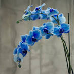 Images & Illustrations of blue orchid