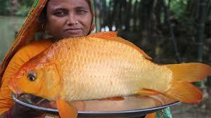 Village Food <b>Golden Carp</b> Fish Recipe Easy Alive Fish Jhol Curry ...