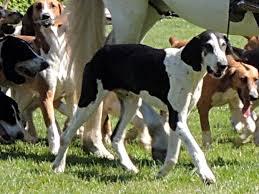 French white and black hound