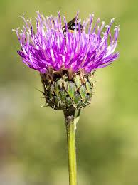 Klasea nudicaulis - Wikipedia, la enciclopedia libre
