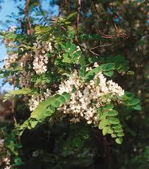 Biological Flora of the British Isles: Robinia pseudoacacia ...