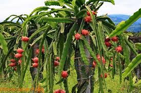 Resultado de imagen para pitaya imagenes planta y fruto