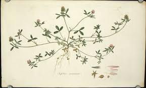 Trifolium maritimum. Sea-side or Teasel-headed Trefoil. | FLORA ...