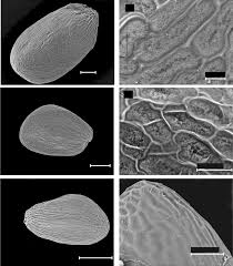 Seed morphology and anatomy of the Mediterranean pentamerous ...