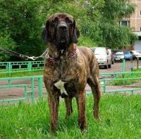 собаки породы <b>фила</b> бразилейру продажа щенков | ВКонтакте