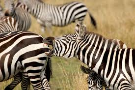 Why Do Zebras Have <b>Stripes</b>? <b>New</b> Study Makes Temperature ...