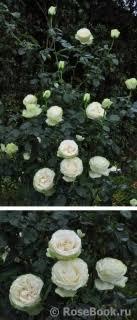 <b>Розы японской</b> селекции :: Энциклопедия роз