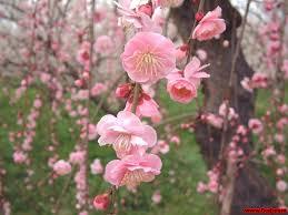 Image result for 梅花