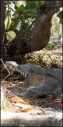 American Crocodile: Species Profile - Everglades National Park ...