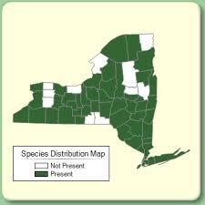 Dactylis glomerata - Species Page - NYFA: New York Flora Atlas