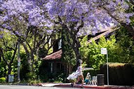 Jacaranda trees: Invasion of the <b>purple flowers</b> bring peace, beauty ...