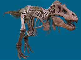 About <b>Tyrannosaurus rex</b> | American Museum of Natural History