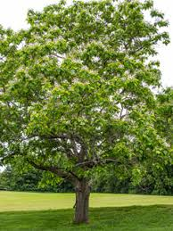 Catalpa bignonioides (Southern catalpa) | Native Plants of North ...