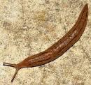 snail-like