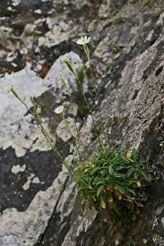 Silene nodulosa, flora di Sardegna