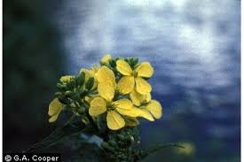 Plants Profile for Sisymbrium officinale (hedgemustard)
