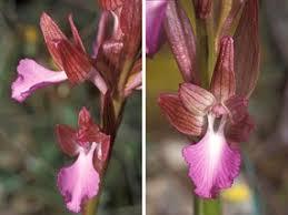 Orchis papilionacea L. | Naviga la Flora | Flora Modena