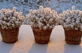 Risultati immagini per pianta gelata vaso