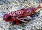 dactylopterus