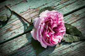 Image result for english rose