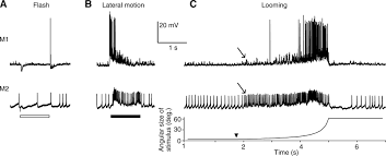 escape behavior and neuronal responses to looming stimuli in the figure