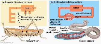 circulatory system function parts role schoolworkhelper open vs closed circulation