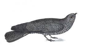 Band-tailed nighthawk