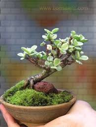 un rbol bonsai de interior muscular por bonsai4life en etsy add bonsai office interior