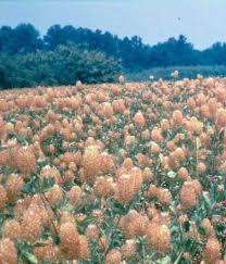 Trifoglio vescicoloso Trifolium vesiculosum Savi - Foraggere ...